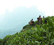 tea workers in china